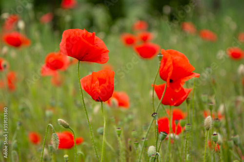 Fototapety, obrazy: Red poppy flowers in a meadow. (The flowers of the common poppy – also called field or corn poppy – Papaver rhoeas.) Shot in 2016 in Slovakia.