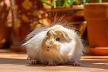 Long Hair Peruvian Guinea Pig White And Gold With Terracota Plant Pots In The Background.