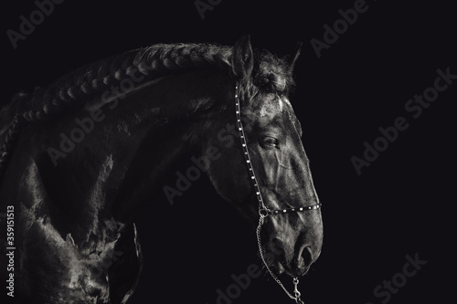 Fotografie, Obraz portrait of stunning friesian stallion on black background