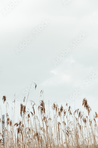 Canvas Print Closeup of reed stalks against the blue sky