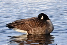 A Canada Goose Sleeps During The Alaskan Springtime.