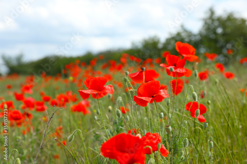 Beautiful red poppy flowers growing in field