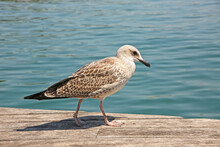 Juvenile Yellow-legged Gulls Walking Along A Wooden Pier With The Sea Behind, Barcelona, Spain.