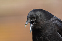 A Northwestern Crow Calls From...