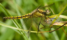 Dragonfly On The Grass, Anisoptera, Gomphus Flavipes, River Clubtail, Yellow-legged Dragonfly