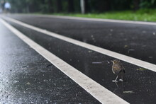 Chick Crosses The Road