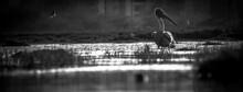 Panorama White Pelicans Fishin...
