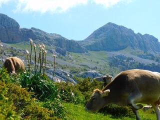 Vacas pastando en la montaña
