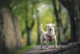 Fototapeta Zwierzęta - Biały pies