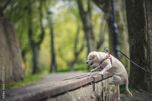 Fototapeta Biały pies obraz