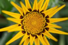 Close Up Of Yellow Gazania Flower