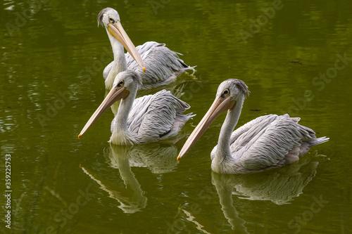 zoo pelikany
