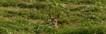 Small Deer Lying In Fresh Mowed Field In Hot Sunny Summer Day