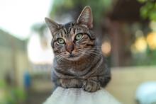 Gato Atigrado De Color Gris Y Ojos Verdes En Un Jardin. Vista Frontal