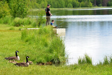 A Canada Goose Family Rests Peacefully As A Father And Son Fish In An Alaska Lake Nearby.