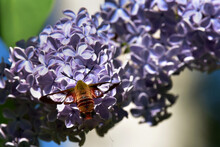 A Hummingbird Clearwing Moth (Hemaris Thysbe) Feeds On Lilac Blossoms.