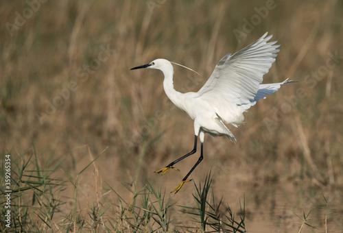 Little Egret landing on the grasses, Bahrain Canvas Print