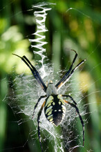 Closeup Of A Yellow Garden Spider (Argiope Aurantia) On A Web In A Garden Setting