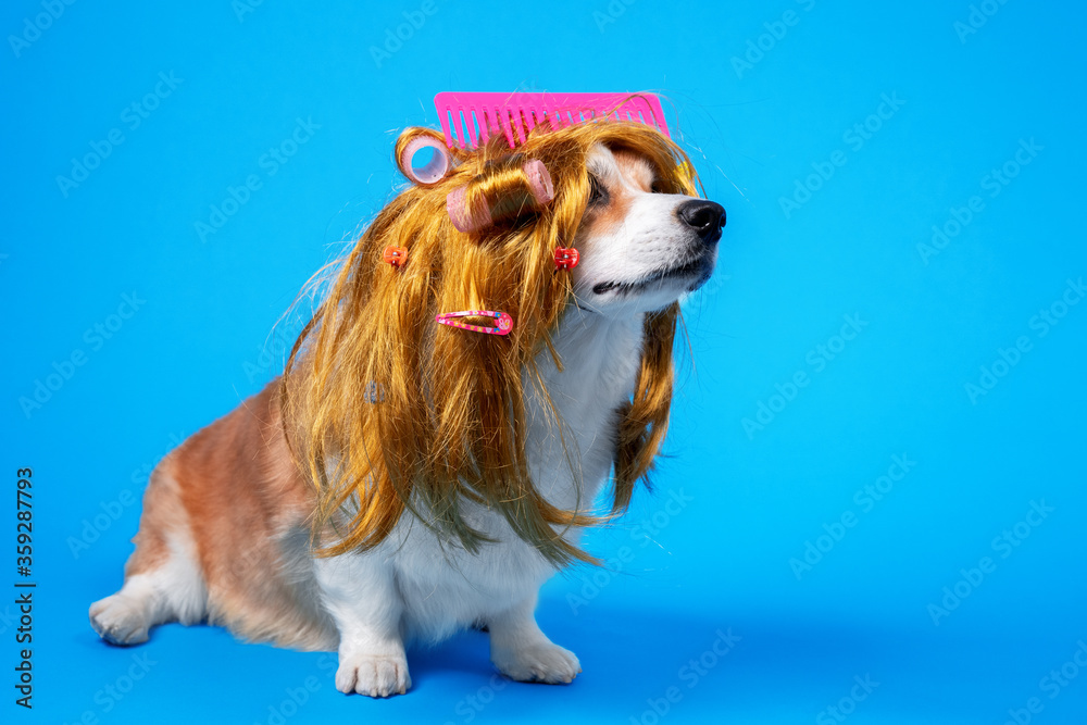 Fototapeta funny dog a pink comb in a bright yellow wig in curlers on a blue background. Grooming and care a pet.