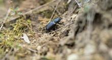 Female Stag Beetle.