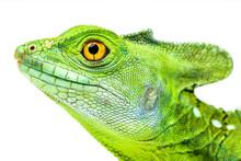 Green Basilisk Or Jesus Lizard...