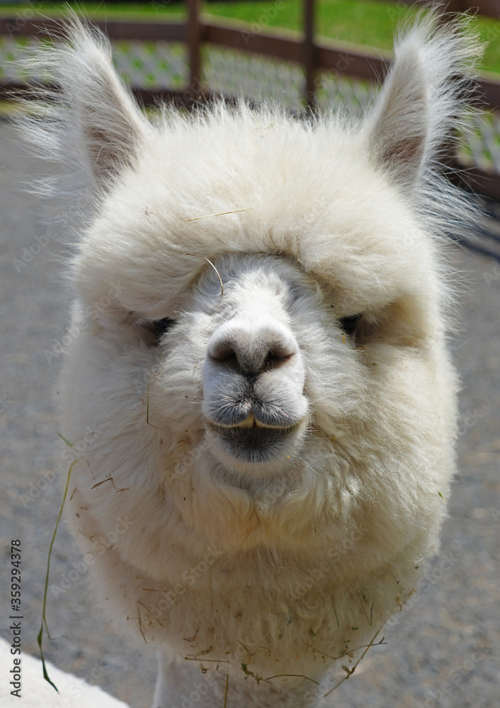 Close-up of the head of a white alpaca