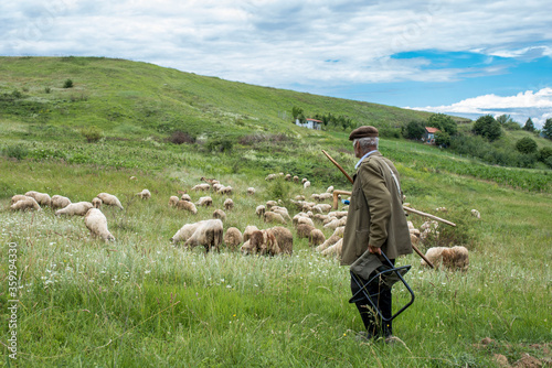 Fotografía Old shepherd at work, watching his flock of sheep in the meadow at the top of th