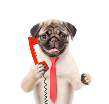 Pug Puppy Wearing A Red Tie Uses A Retro Phone Or Telephone. Isolated On White Background