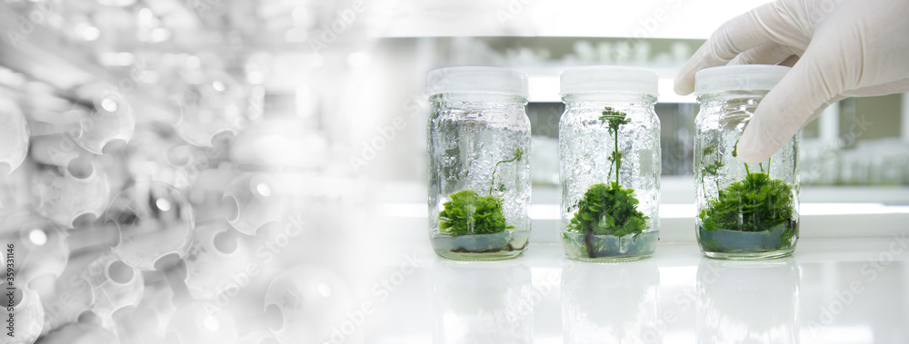 Fototapeta glove wearing hand of scientist three bottle of plant tissue culture in biotechnology science laboratory banner background