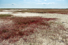 Shore Of Lake Ebeyty With Red Grass Ground Cover, Therapeutic Mud, Salt Lake In Omsk Region (Russia).