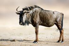 Blue Wildebeest, Gnu, Side Por...