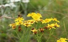 Beautiful Yellow Flower In The Trek Of Rudranath, Uttarakhand.
