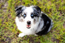 Australian Shepherd. Mini Grey And White Aussie With Blue Eyes