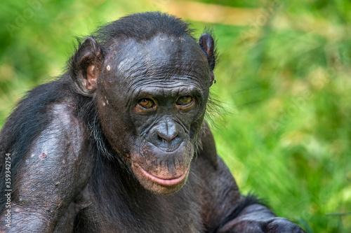 Portrait of Bonobo. Close up. Scientific name: Pan paniscus. Democratic Republic of Congo. Africa. #359342754