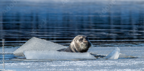 A seal tries to get out on an ice floe. The bearded seal, also called the square flipper seal. Scientific name: Erignathus barbatus. White sea, Russia #359343102