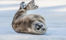 Seal Resting On An Ice Floe. T...