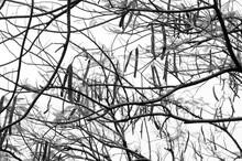 Intermingling Tree Branches (in Monochrome)