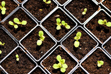 Planting Vegetables Lettuce Leaf On Soil In Pot In The Garden - Green Young Plant Growing Gardening Plantation Agriculture Concept