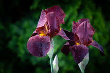 Two Chocolate Red Iris Flowers...