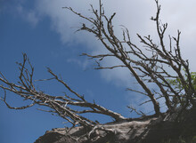 Dry Tree Branches Against The Blue Sky. Dead Tree.
