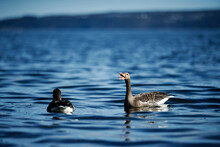 High Resolution Photo Of Geese...
