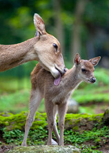 A Mother Deer Caring For It's ...