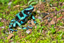 Green And Black Poison Dart Frog, Dendrobates Auratus, Tropical Rainforest, Costa Rica, Central America, America