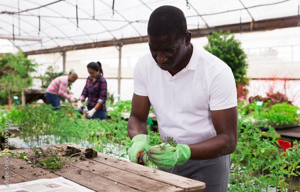 Fototapeta Afro man gardener working with tomato seedlings