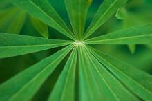 Lupine Leaf. Green Leaf Of A ...
