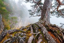 The Trunk With The Root System Of An Old Pine Tree Growing In Misty Mountain Forest
