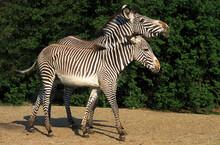 ZEBRE DE GREVY Equus Grevyi