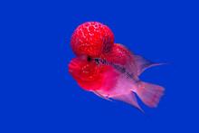 Red Pearl Cichlid Flowerhorn C...