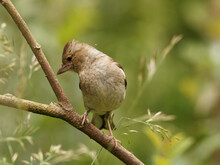 A Female Chaffinch (Fringilla Coelebs) Perched On A Branch Against A Green Background At Anglers Country Park, Wakefield