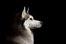 Isolated Siberian Husky Dog Profile Close Up Head Shot Portrait Against A Black Background